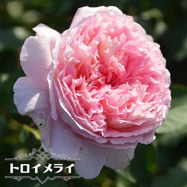 四季咲き半つるバラ苗 トロイメライ 2年生大苗 PVP 予約販売12〜翌1月頃入荷予定