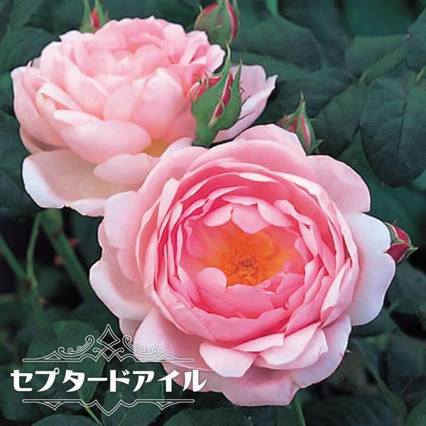 バラ苗 セプタードアイル (大輪 イングリッシュローズ ) 6号ポット 大苗 四季咲き 強健 予約販売12〜翌1月頃入荷予定