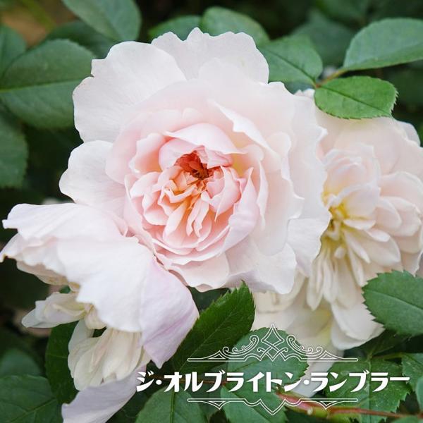 四季咲き半つるバラ ジオルブライトンランブラー 長尺苗 大型宅配便 沖縄・離島不可