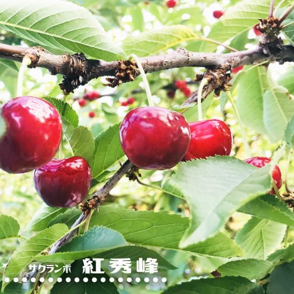 さくらんぼ 紅秀峰 3年生接木1m大苗 産地で剪定済 1.0m苗