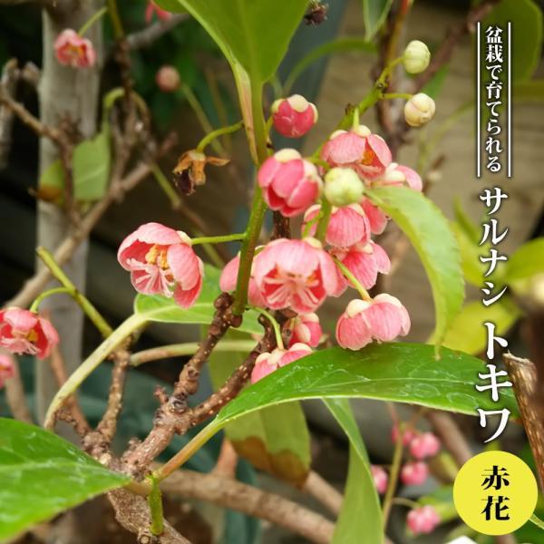 赤花トキワサルナシ 常緑性 3.5号ポット苗 ハナヒロバリュー