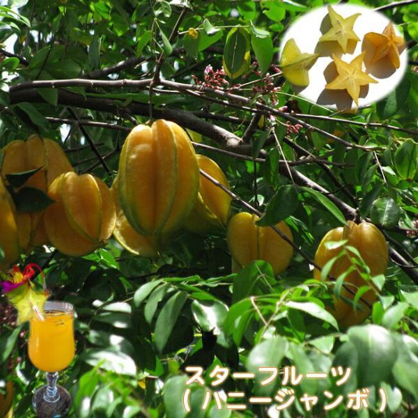 スターフルーツ (ハニージャンボ ) 接木苗 果樹 果樹苗 ゴレンシ