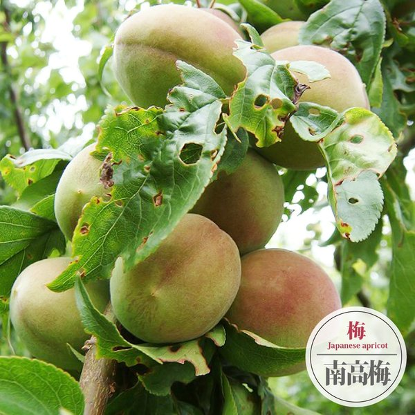 南高梅 (なんこううめ) 実梅 うめ 2年生 接ぎ木 苗木 スリット鉢植え  予約販売9〜10月頃入荷予定