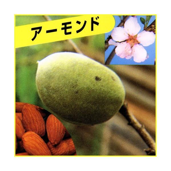 アーモンド苗木|hanaikushop
