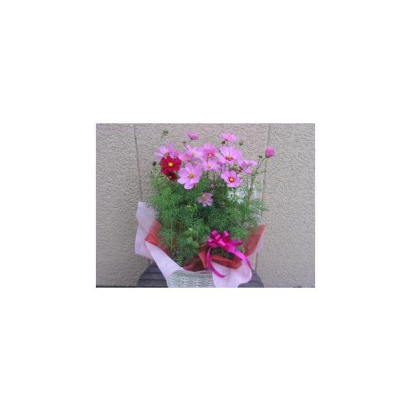 コスモス 安曇野コスモスバスケット 秋桜鉢植え敬老の日の贈り物に 9月上旬より出荷いたします。