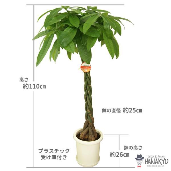 送料無料 8号 丸プラスチック鉢 人気の観葉植物 おしゃれ パキラ 開店祝いなどのギフトにピッタリ 受け皿付き 大型 高さ約110cm|hanakyu|02