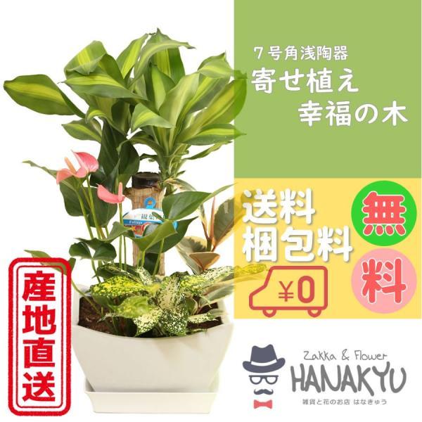 人気の寄せ植え 7号 幸福の木 角浅陶器鉢