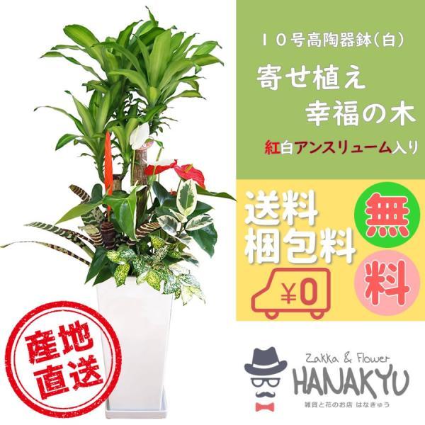 寄せ植え 幸福の木 10号 陶器鉢