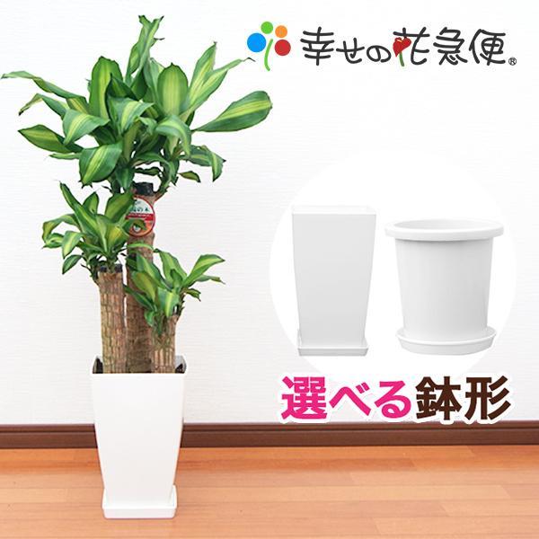観葉植物 幸福の木7号角プラスチック鉢 高さ約1m|hanakyubin
