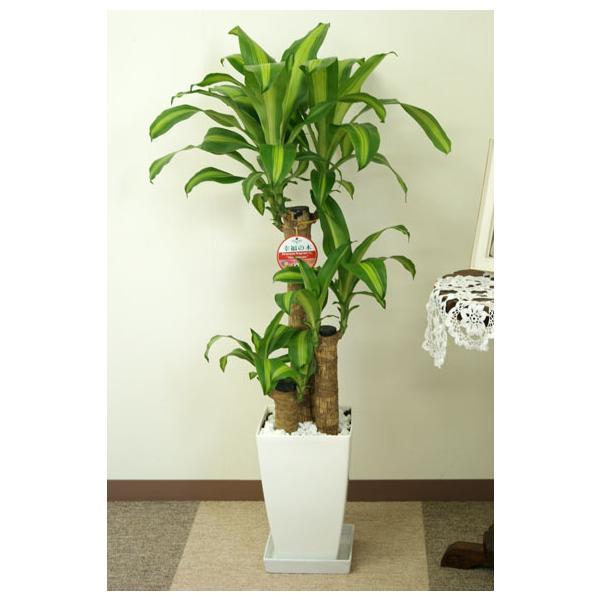 観葉植物 幸福の木7号角プラスチック鉢 高さ約1m|hanakyubin|02