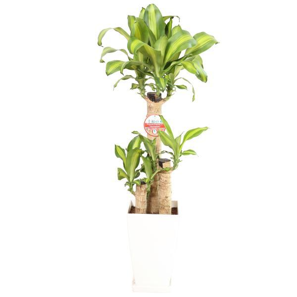 観葉植物 幸福の木7号角プラスチック鉢 高さ約1m|hanakyubin|03