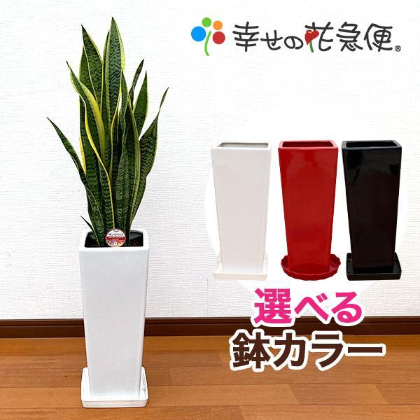 観葉植物 サンスベリア 7号陶器ロング-角鉢(白赤黒) 人気 新築祝い インテリア