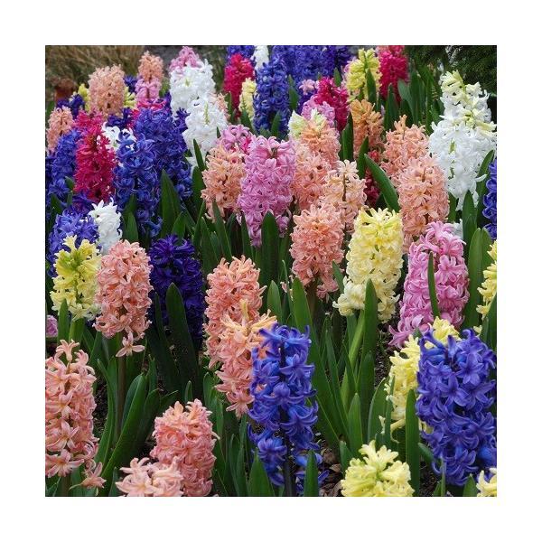 ヒヤシンス 球根 花 水栽培にも 5色から選べる3球セット 秋植え冬植え 春咲き