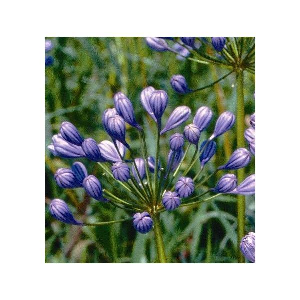 アガパンサス 花 苗 宿根草 ガーデニング 夏 寄せ植え 半八重咲きフローラプレノ 直径15cmポット苗