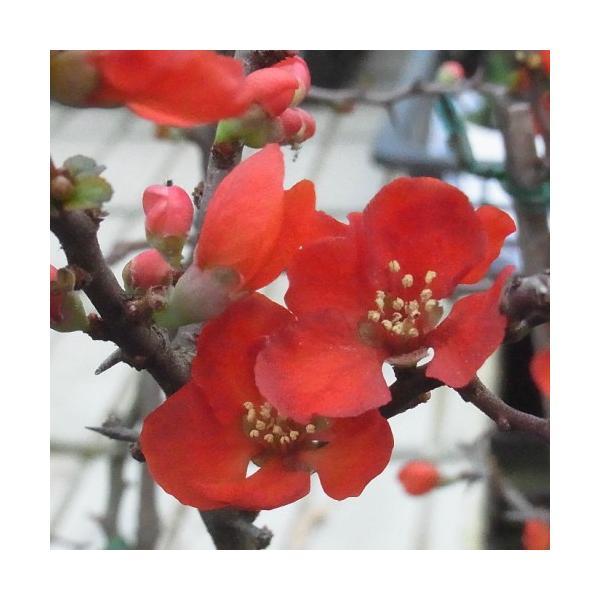 ボケ 長寿梅 花 苗木 春 冬 草木瓜 4.5号 鉢植え 庭 ガーデニング