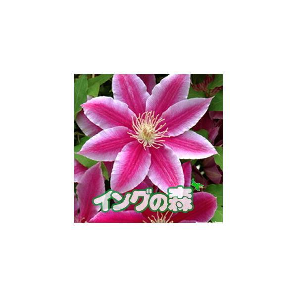クレマチス 花 苗 ドクター・ラッペル パテンス 多年草 春 夏 4.5号サイズ2年生ポット苗