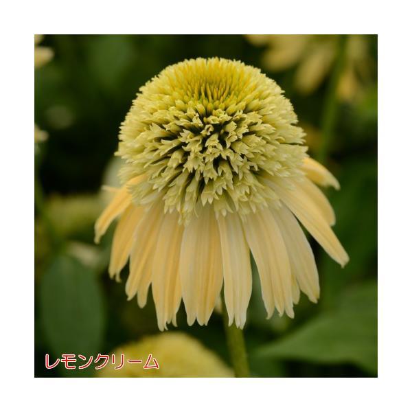 エキナセア 八重咲き ダブルスクープ 選べる6色 1株 宿根草 夏花壇 切り花 耐寒性|hanamankai|03