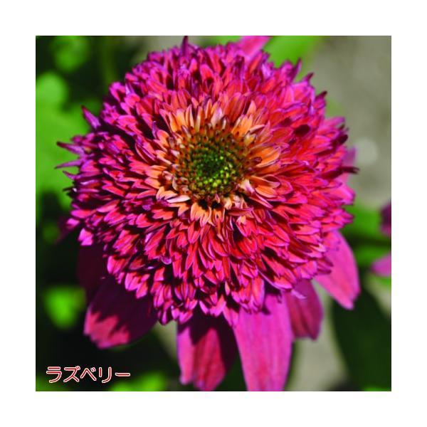 エキナセア 八重咲き ダブルスクープ 選べる6色 1株 宿根草 夏花壇 切り花 耐寒性|hanamankai|04