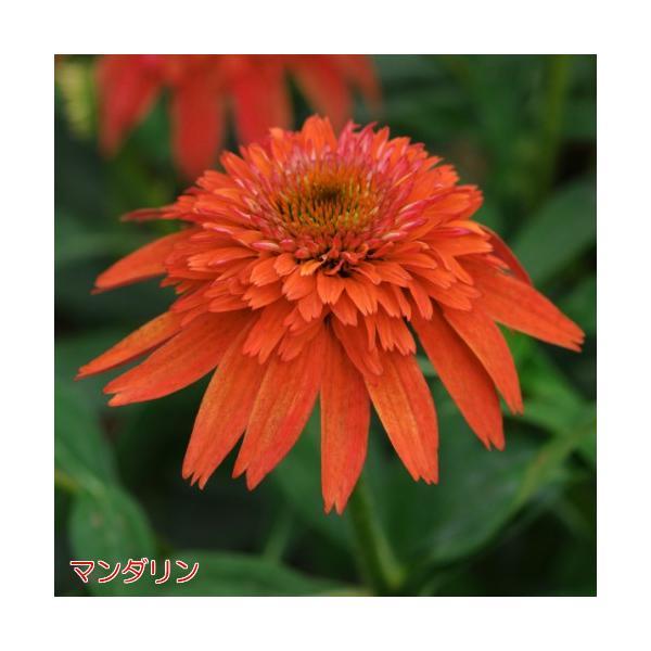 エキナセア 八重咲き ダブルスクープ 選べる6色 1株 宿根草 夏花壇 切り花 耐寒性|hanamankai|05