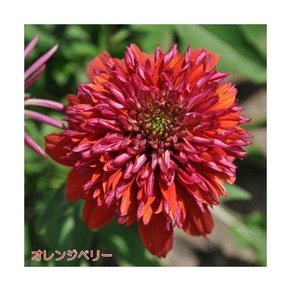 エキナセア 八重咲き ダブルスクープ 選べる6色 1株 宿根草 夏花壇 切り花 耐寒性|hanamankai|07