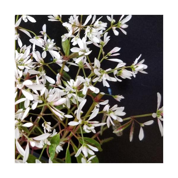 ユーフォルビア ブレスレスブラッシュ 花 苗 夏 春 秋 多年草 寄せ植え イングリッシュガーデン