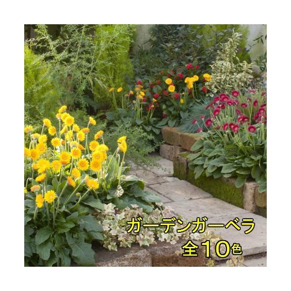 ガーベラ 花 苗 宿根ガーデンガルビネア 選べる10色 1株