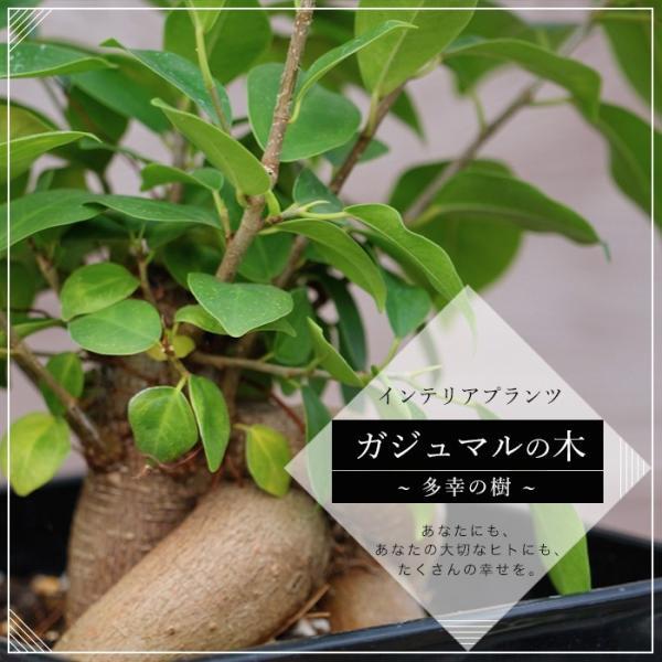 観葉植物 インテリア ガジュマル (カジュマルの木) 鉢植え 植え替え不要 7号(直径21cm) 深鉢 受け皿付き 常緑樹 がじゅまる 幸福の木 お祝い