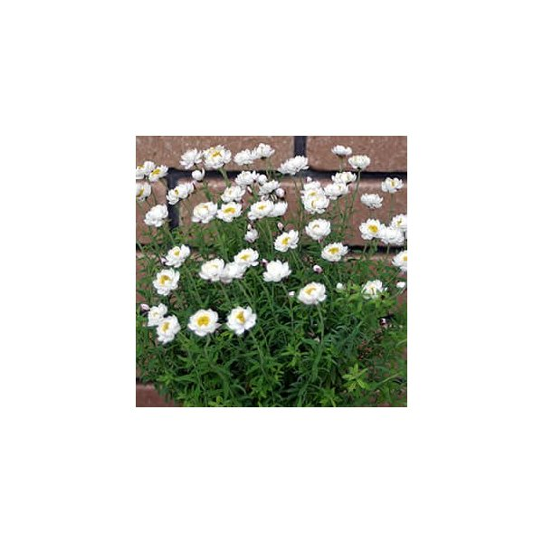 RoomClip商品情報 - ハナカンザシ(花かんざし・ヘリクリサム・ローダンセ) 1株   花苗 ガーデニング 寄せ植え ドライフラワーに