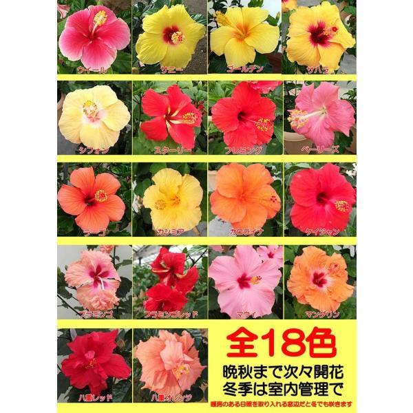 ハイビスカス 花 鉢植え 小中輪系 5号 1鉢 晩秋まで咲き続け毎年楽しめる