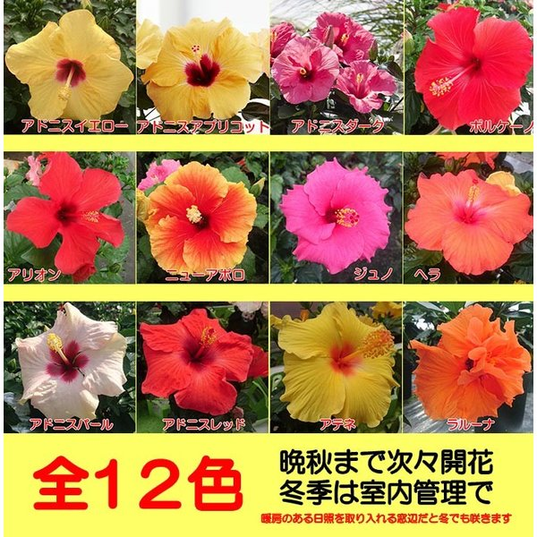 ハイビスカス 花 鉢植え ロングライフシリーズ 5号 夏 晩秋まで咲き続け毎年楽しめる