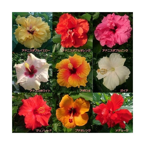 ハイビスカス 花 鉢植え ロングライフシリーズ 夏 春 秋 5号 晩秋まで咲き続け毎年楽しめる その2