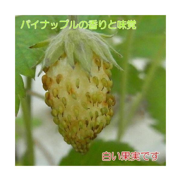 いちご 果実 苗 トロピカルアロマ 白実イチゴ パイナップルの様な香りと味覚の苺 ポット 1個 四季なり ワイルドストロベリー 小粒