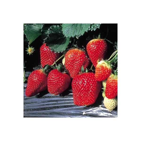 イチゴ 果物 苗 いちご とちおとめ 苺 直径9cmポット 家庭菜園 プランター 鉢植え