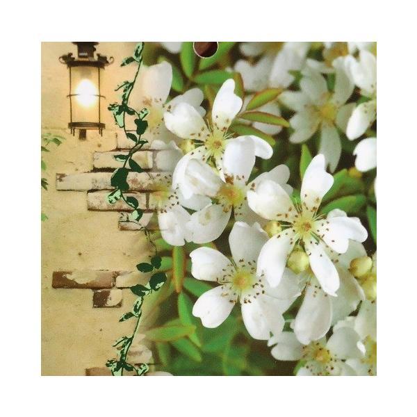 つるばら 花 苗木 春 モッコウバラ 木香薔薇 芳香高い一重咲き 鉢植え 白 12cmポット 全高約60cm