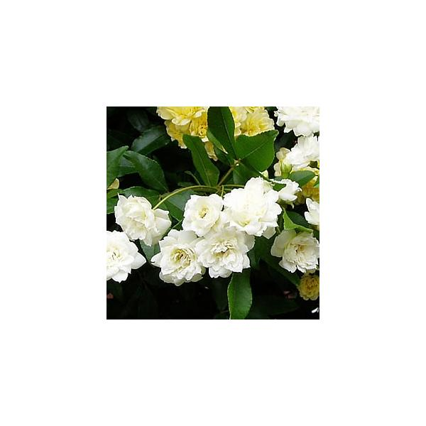 モッコウバラ 木香薔薇 ばら 花 ポット苗 白い シロモッコウバラ