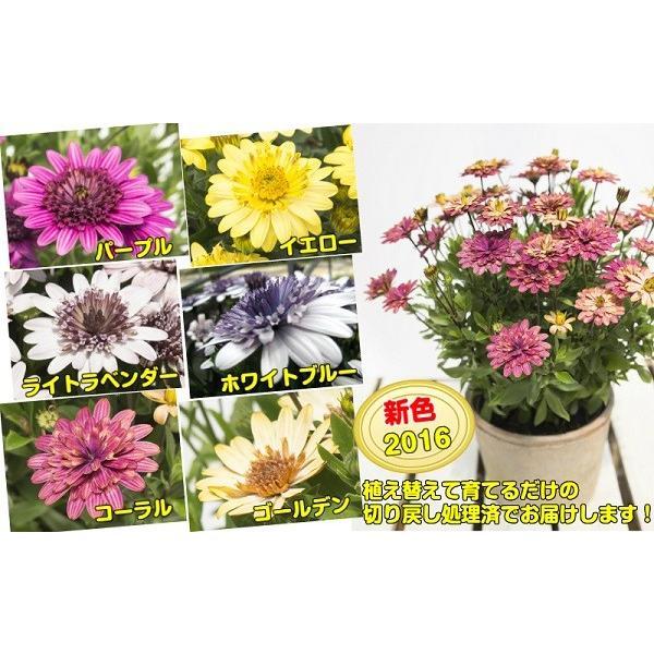 オステオスペルマム 苗 春の花 八重咲き ダブル咲で豪華 花色も特徴 ダブルファンシリーズ 1株9cmポット