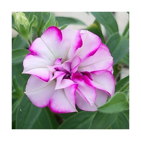 ペチュニア プレミアムコレクション ピンクサファイア 1株 寄せ植え 季節の花苗 イングリッシュガーデンに
