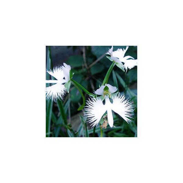 サギソウ 花 苗 夏 多年草 球根性 山野草 人気の鷺草 5種類からチョイス 10.5cmミニ鉢植え 飛翔 銀河 朧月 金河 青葉