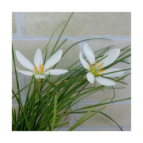 ゼフィランサス 花 苗 鉢植え 4号 直径12cm ポット 春 夏 秋 レインリリー 多年草