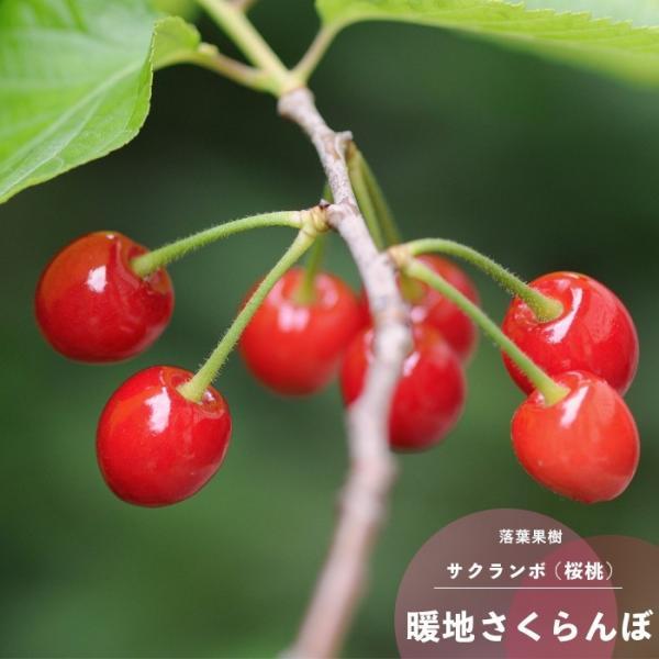 サクランボの木 さくらんぼ 暖地桜桃 花 苗木 春 鉢植え 1年生 接ぎ木 4.5号 13.5cm ポット 落葉樹 ベランダ