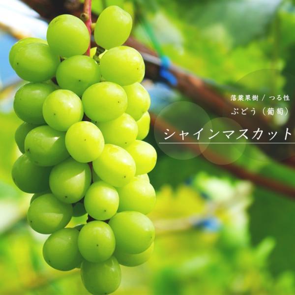 ぶどう 果樹 苗木 シャインマスカット 挿し木 ポット ブドウ 鉢植え 家庭 落葉樹 プランター