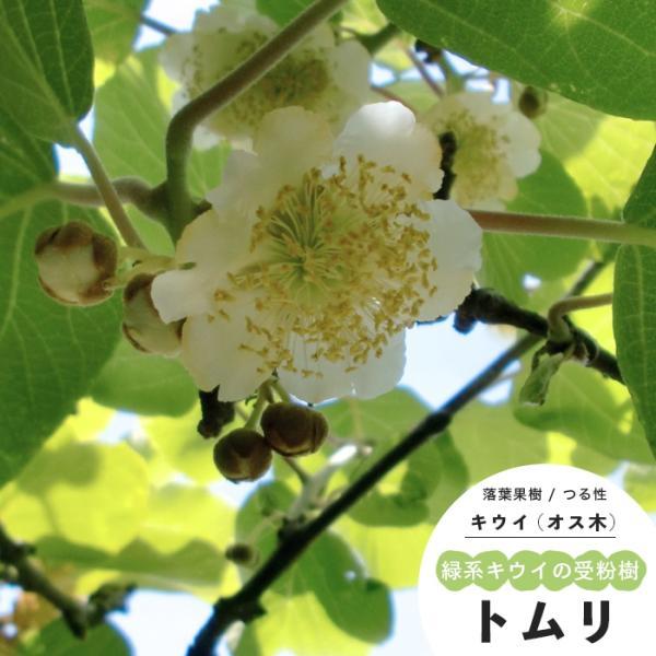 キウイ 果樹 苗木 受粉樹 トムリ オス 雄木 1年生 4.5号 13.5cm ポット つる性 落葉樹