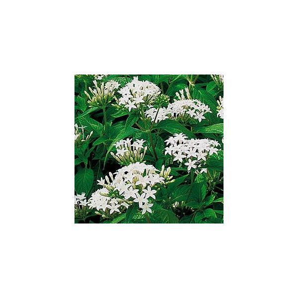 ペンタス 花 苗 鉢植え 寄植え グラフティ ホワイト 9cmポット 1株 育て方の説明書付き