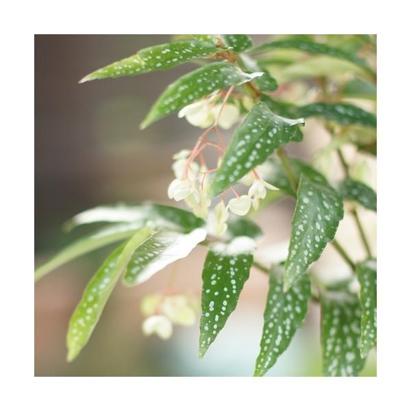 木立性ベゴニア 花 苗 原種 アルボピクタ 夏 秋 4号ポット 珍しいライムグリーン