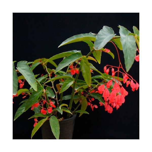 木立性ベゴニア 花 苗 原種 アルボピクタロゼア 4号ポット 二季咲き 夏 秋 情熱的な赤い花のシャンデリア