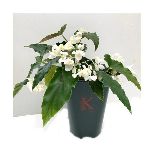木立性ベゴニア 花 鉢植え ダイヤモンドリリー 夏 秋 5号 そのまま飾れる花郷園オリジナルロゴ入りプラ鉢 1個