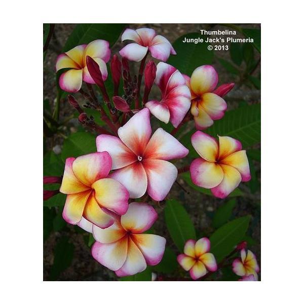 プルメリア 苗木 花 サンバリーナ 5号鉢 レイなどにも 常緑低木 夏 秋