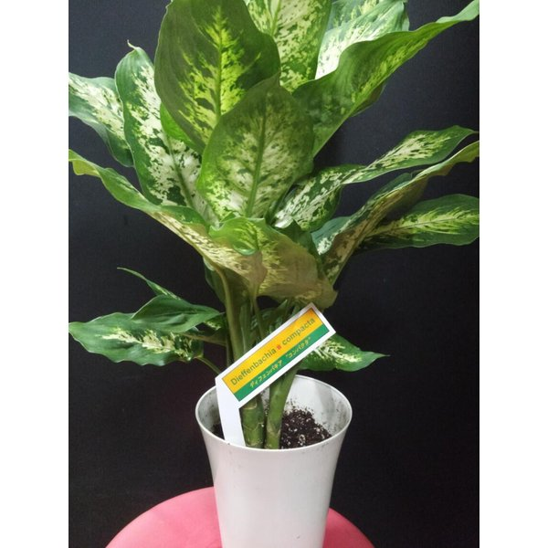 RoomClip商品情報 - デヘンバキア スパークレス 観葉植物