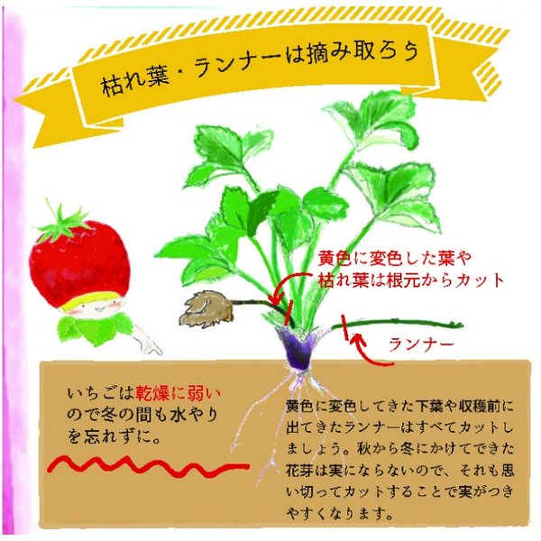 予約商品 送料無料 四季成りイチゴ栽培セット 苗と土と筆の3点セット イチゴ2種類 ガーデン培養土12L 受粉用の筆 10月中旬頃より順次発送|hananoyamato-online|11