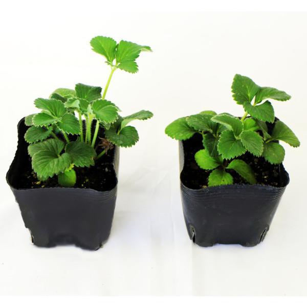 予約商品 送料無料 四季成りイチゴ栽培セット 苗と土と筆の3点セット イチゴ2種類 ガーデン培養土12L 受粉用の筆 10月中旬頃より順次発送|hananoyamato-online|05